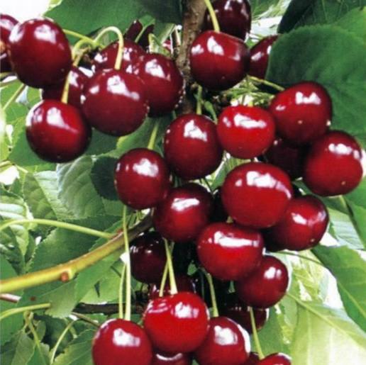 Саженцы вишни Сабина