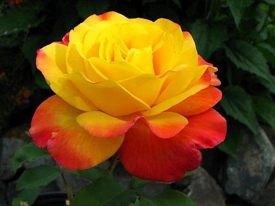 Саженцы роз Samba (самба)