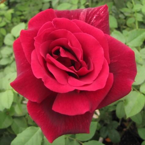 Саженцы роз Selena (Селена)