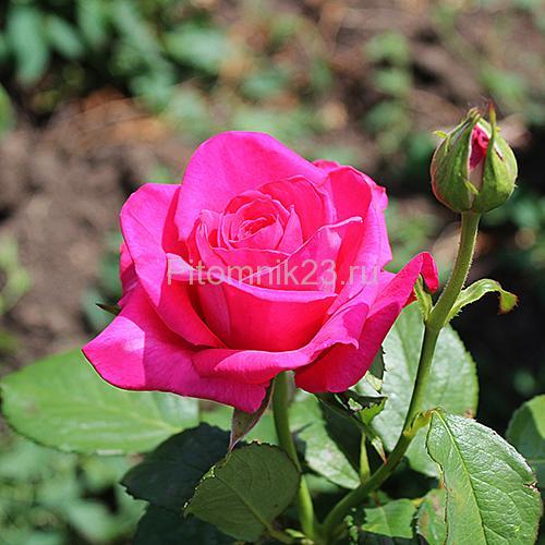 Саженцы роз Shakira (Шакира)