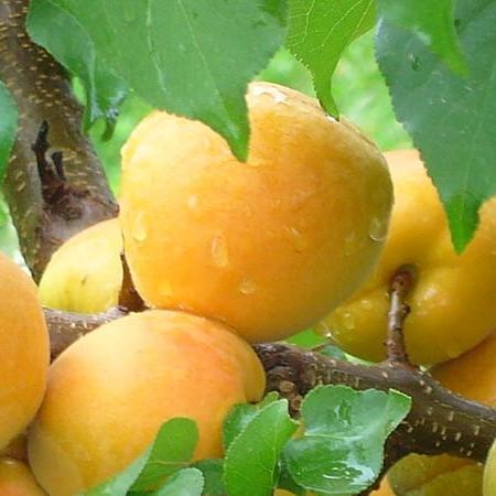 Саженцы абрикоса Шалах