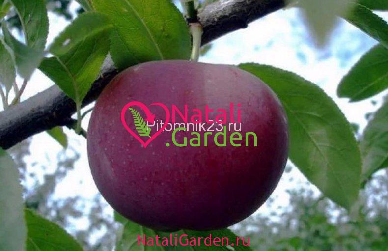 Саженцы абрикоса Шарафуга