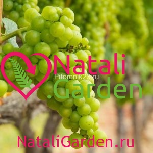 Саженцы винограда Шардоне