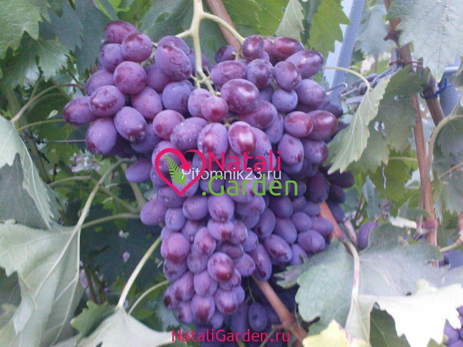 Саженцы винограда Шоколадный