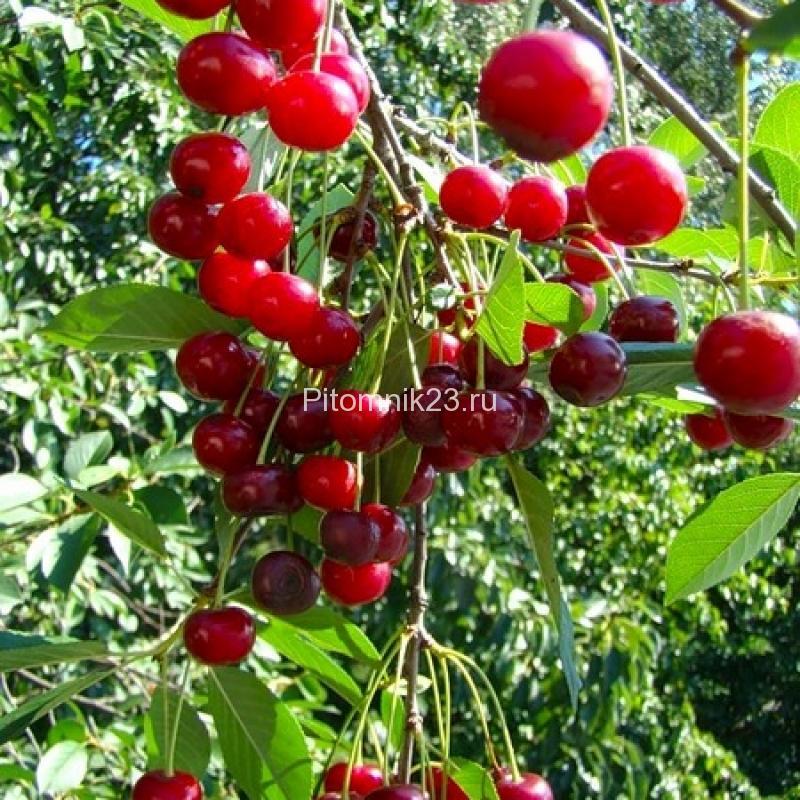 Саженцы вишни Шубинка