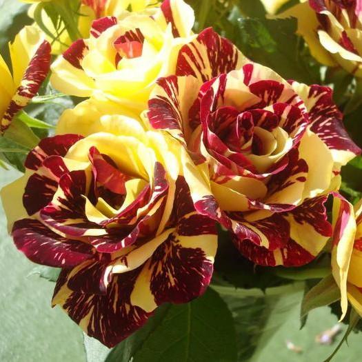 Саженцы роз Simsalabim (Сим Салабим)