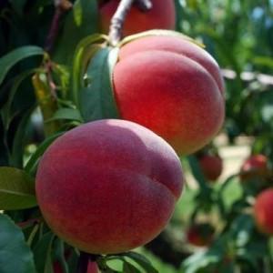 Саженцы персика Сочный