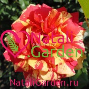 Саженцы английской парковой розы Сорбит Фруит