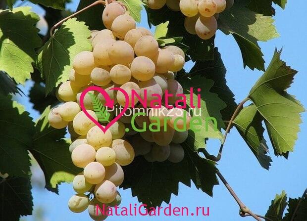 Саженцы винограда Бианка