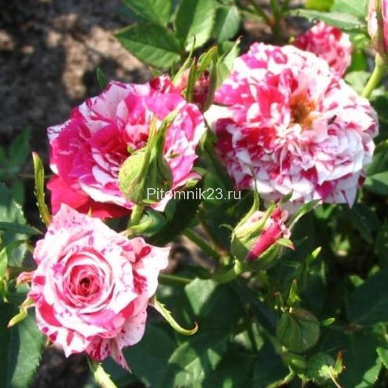 Саженцы миниатюрной розы Stars'n'Stripes (Стар-эн-Страйпс)