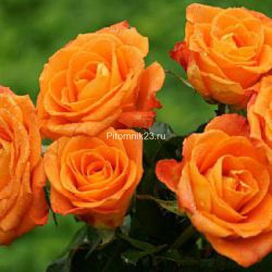 Саженцы розы спрей Санрайз (Sunrise)