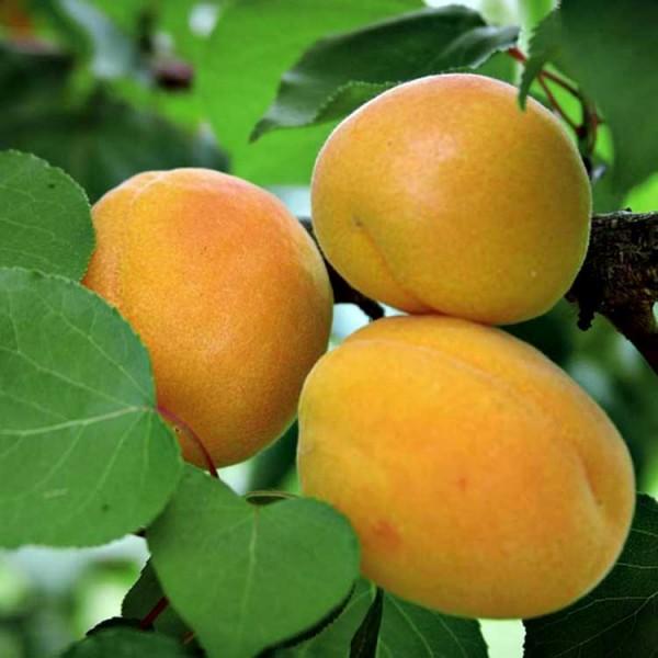 Саженцы абрикоса Жигулевский Сувенир