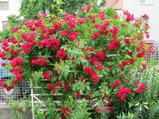 Саженцы роз Sympathie (симпатия)