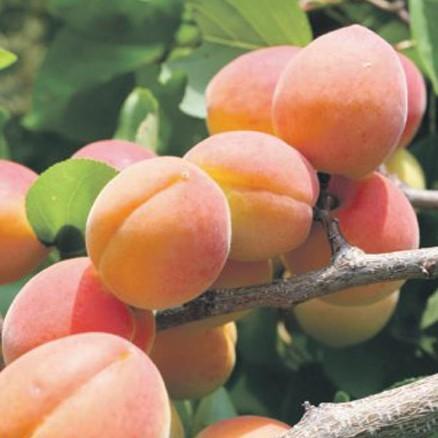 Саженцы абрикоса Сын Краснощекого