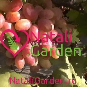 Саженцы винограда Танюша