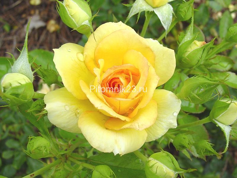 Саженцы чайно-гибридной розы Техас (Texas)