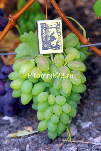 Саженцы винограда Тимур