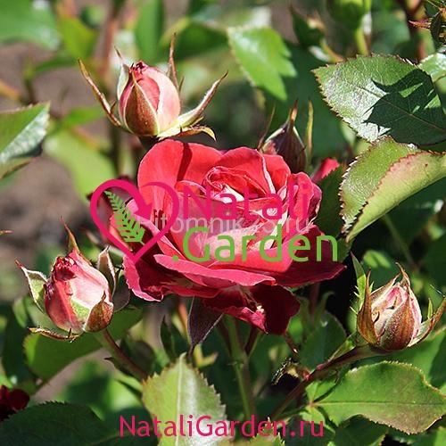 Саженцы розы Тирамису (Tiramisu)