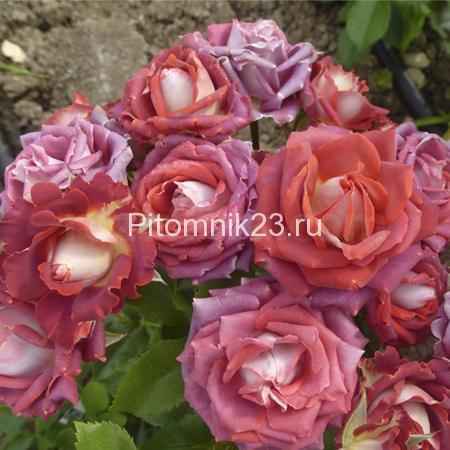 Саженцы розы спрей Тирамиссу (Tiramisu)