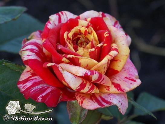 Саженцы роз Tocade (токад)