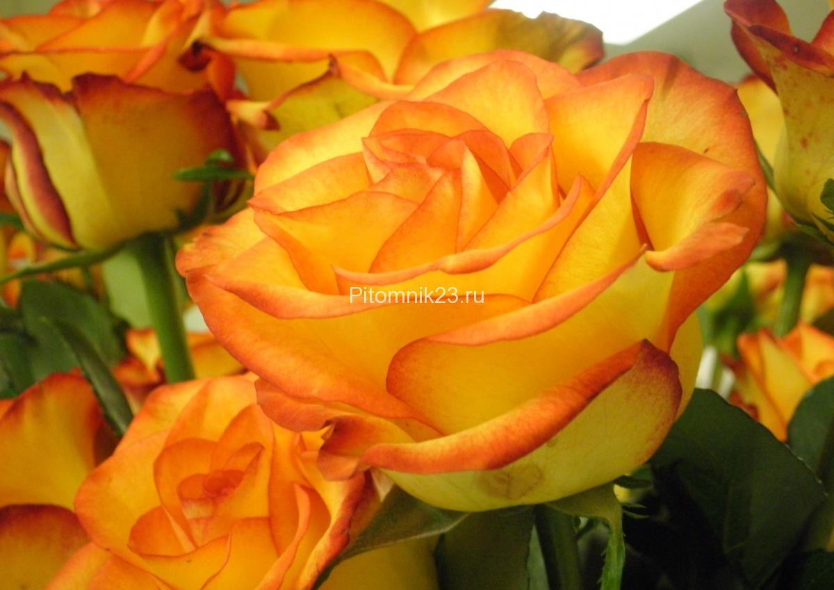 Саженцы чайно-гибридной розы Трезор (Tresor 2000)