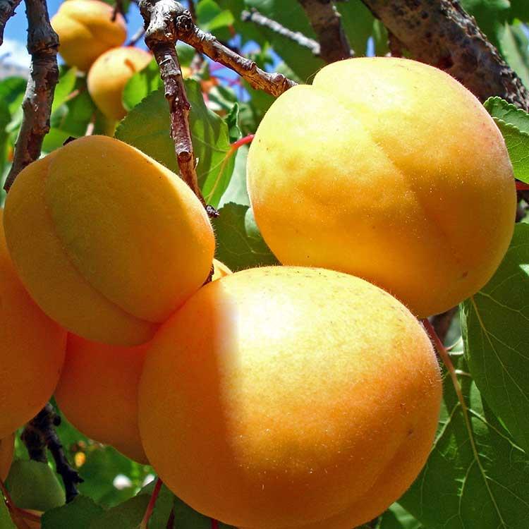 Саженцы абрикоса Триумф Северный