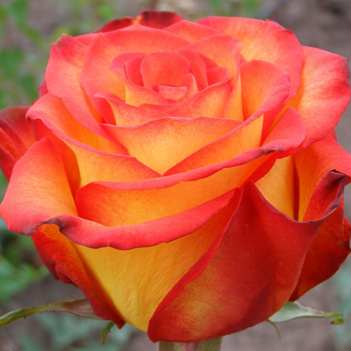 Саженцы роз Circus (Циркус)