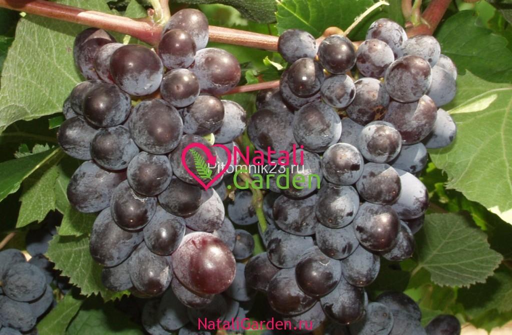 Саженцы винограда Кишмиш Юпитер
