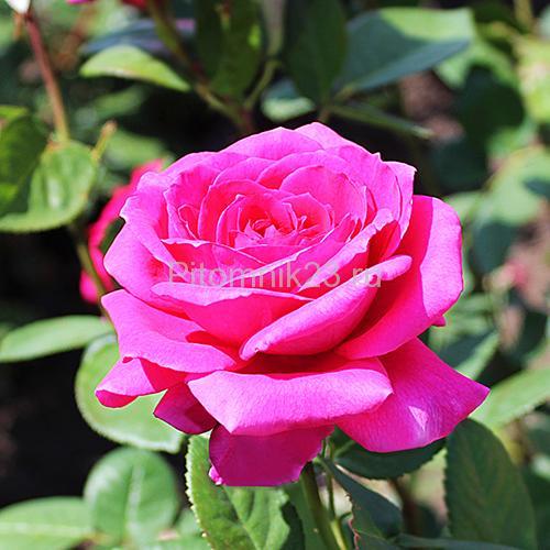Саженцы чайно-гибридной розы Валентина (Valentina)
