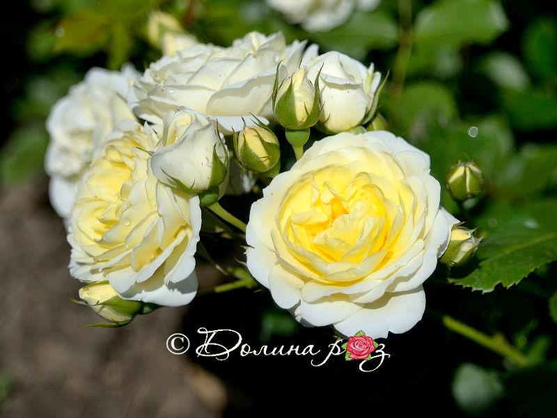 Саженцы роз Vanilla meidiland (ванилла меидиланд)