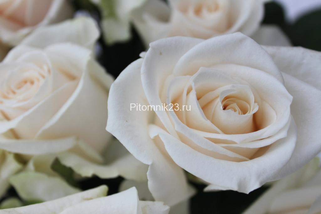 Саженцы чайно-гибридной розы Вендела (Vendella)