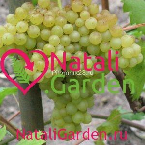 Саженцы винограда Кишмиш Венгерский