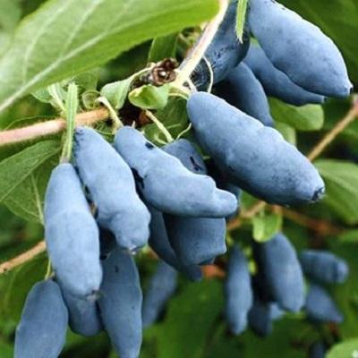 Саженцы жимолости Голубое Веретено