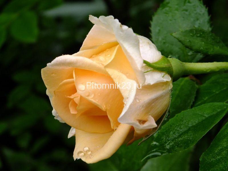 Саженцы чайно-гибридной розы Версилия (Versilia)