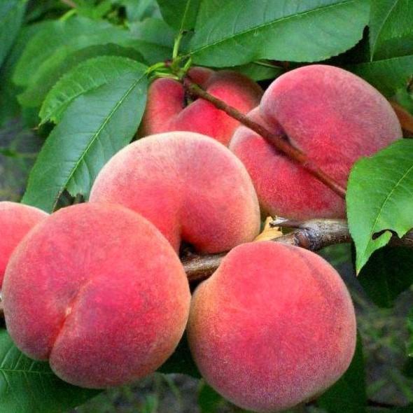Саженцы персика Ветеран