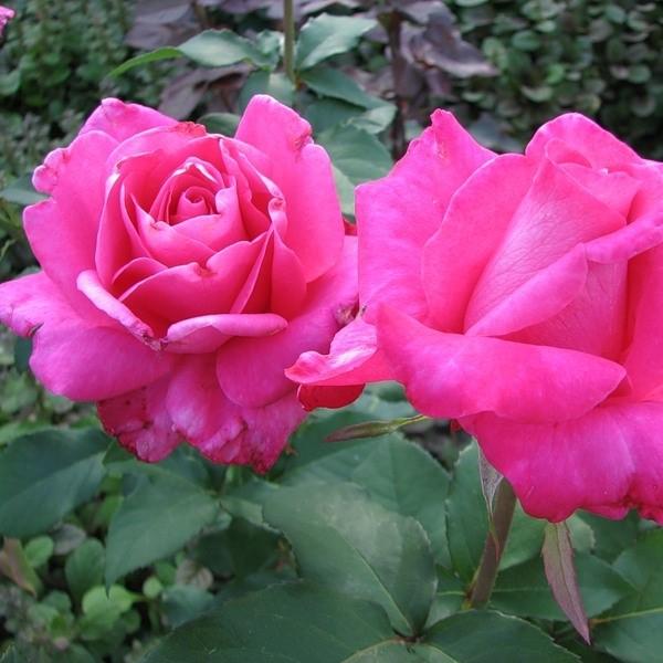Саженцы роз Vien Rose (Виен Роз)