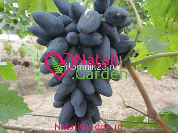 Саженцы винограда Викинг