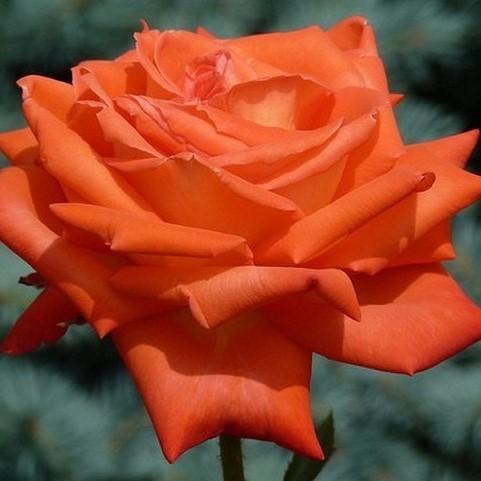 Саженцы роз Vinichar (Виничар)