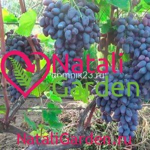 Саженцы винограда Памяти Негруля