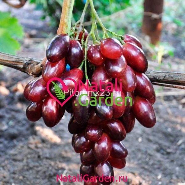 Саженцы винограда Ася