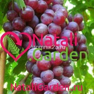 Саженцы винограда Герман