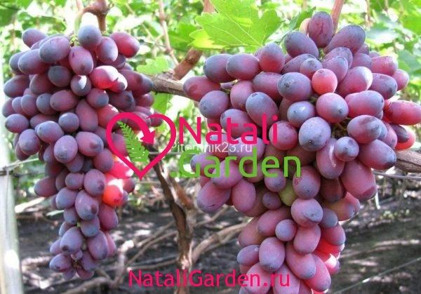 Саженцы винограда Кардинал