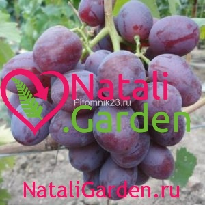 Саженцы винограда Низина