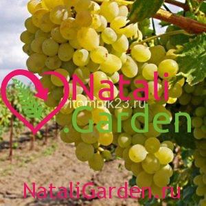 Саженцы винограда Виорика