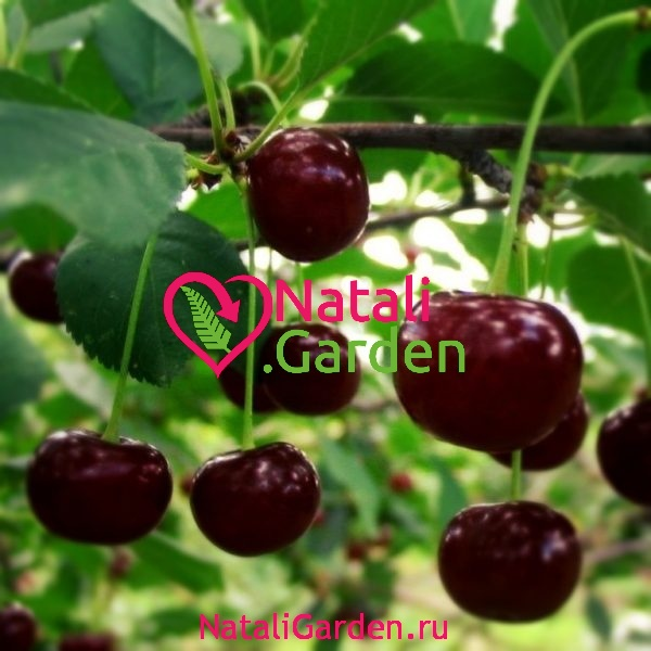 Саженцы вишни Призвание