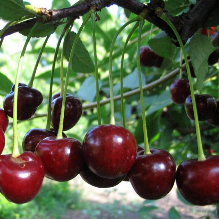 Саженцы вишни Владимирская