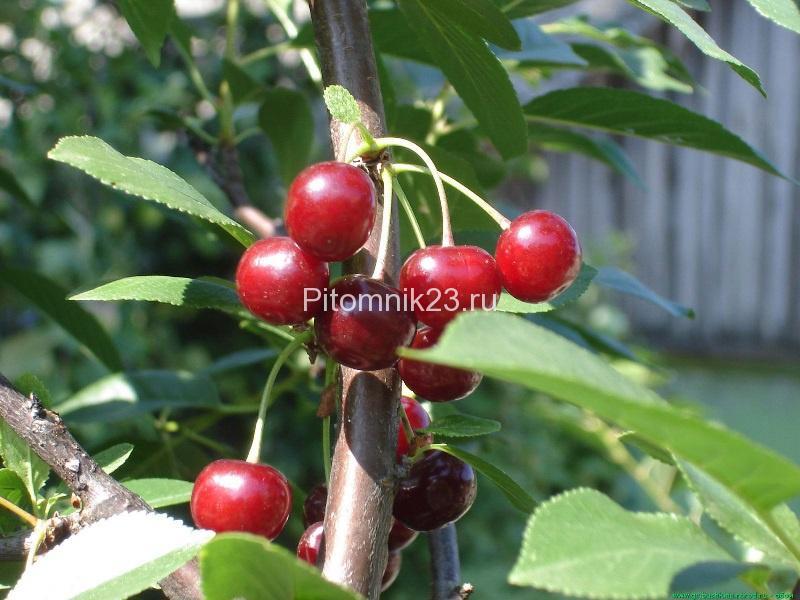 Саженцы вишни Волочаевка