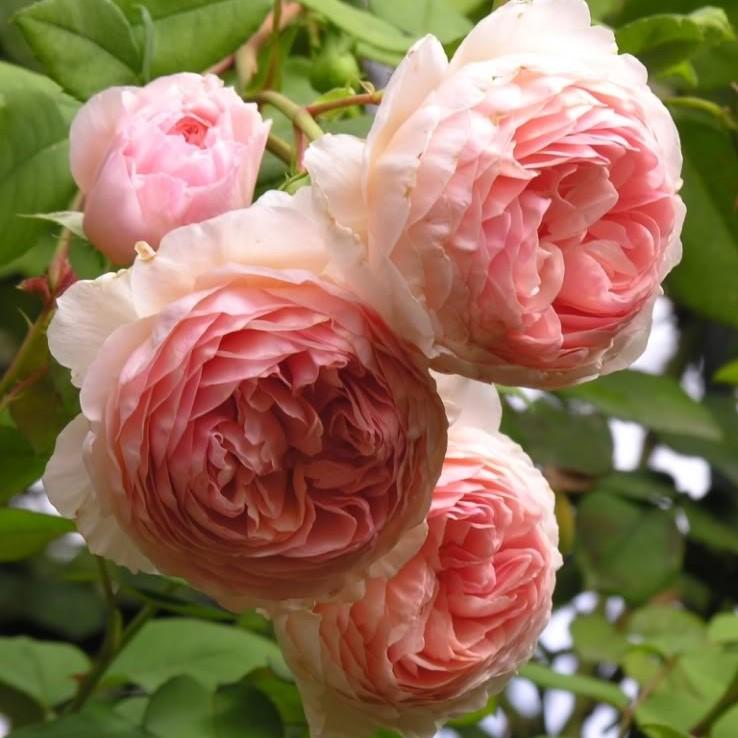 Саженцы роз William Morris (Уильям Моррис)