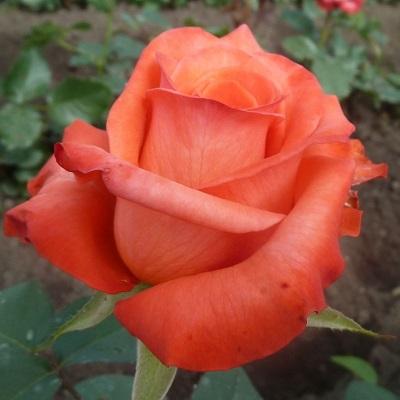 Саженцы роз Wow (Вау)
