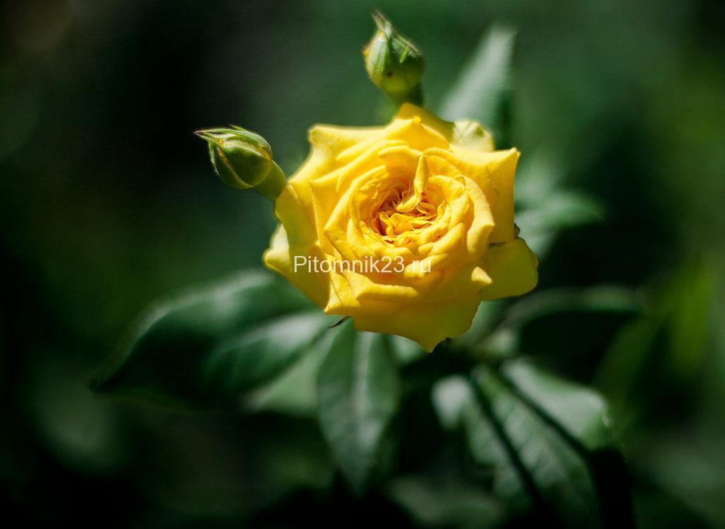 Саженцы розы спрей Еллоу Евелин (YellowEveline)